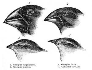 G. magnirostris, upper left. Credit: Chas. Darwin, 1845