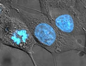 Blue-stained HeLa cells.  Credit: TenofAllTrades