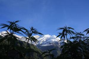Cannabis near Dhaulagiri in Nepal.  Credit: Arne Hückelheim