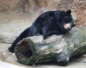 1 black bear (Ursus americanus), 1 log