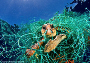 Sea turtle in net