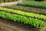 Field of vegetables, image via Shutterstock